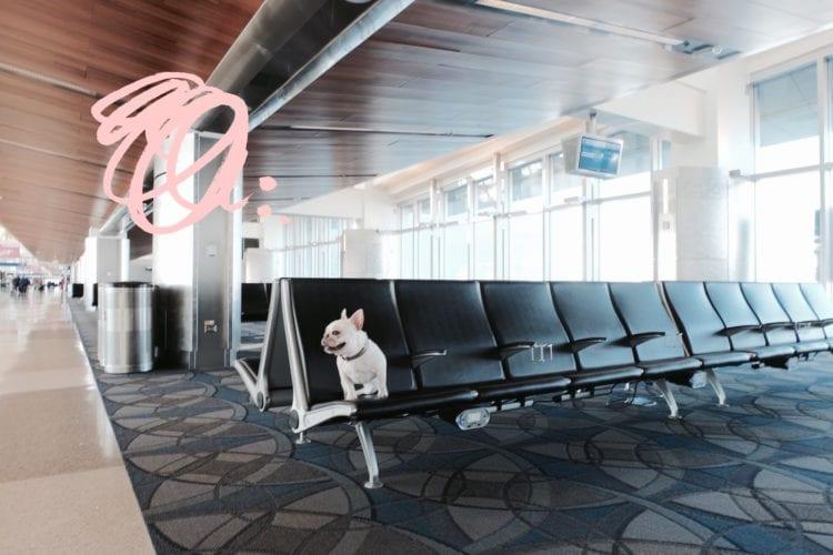 french bulldog at airport