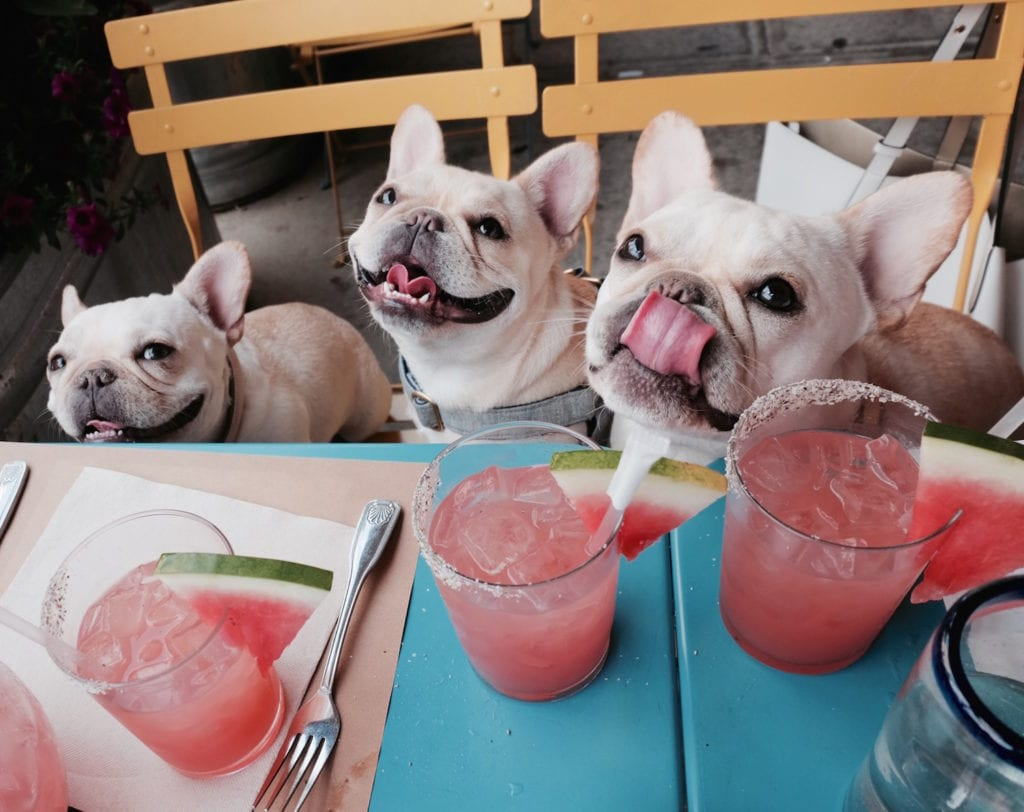 Image result for frenchie eat