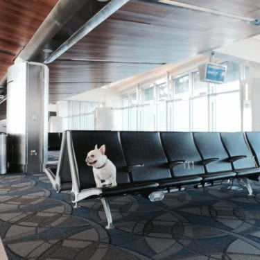 french bulldog at airport