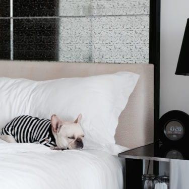 french bulldog in hotel bed