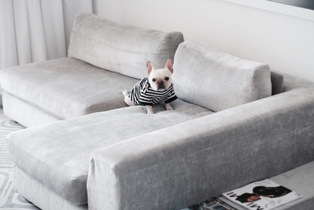 french bulldog on sofa