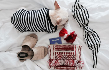 Frenchie packing for vacation