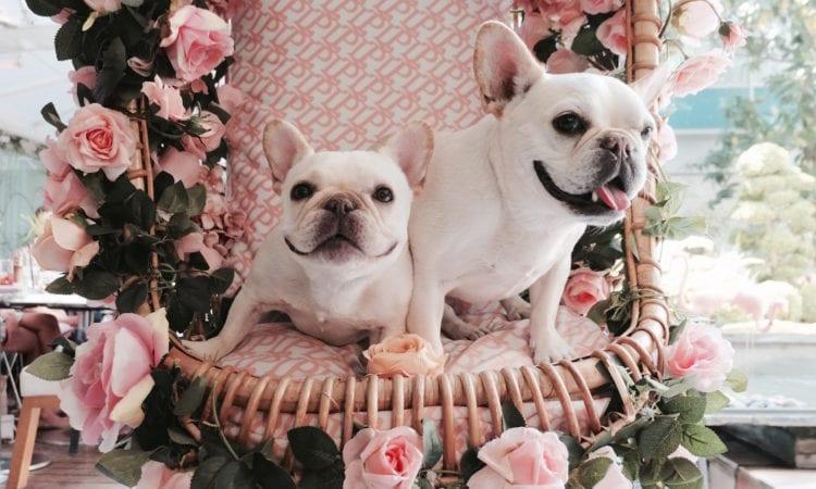 french bulldogs instagram