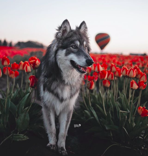 dog and tulips
