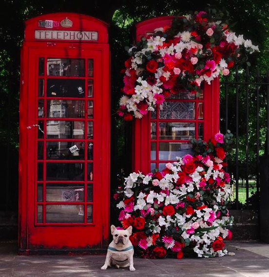 french bulldog phone booth