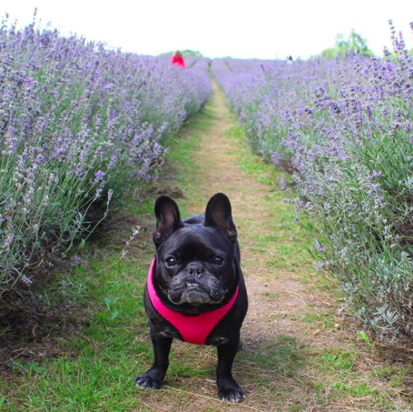 french bulldog lavender